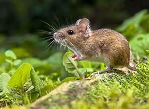 Maus Im Haus : eine maus artgerecht als haustier halten zooroyal magazin ~ Buech-reservation.com Haus und Dekorationen
