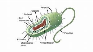 Prokaryotic Cells  Article