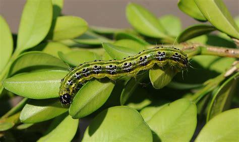 buchsbaumzuensler bekaempfung und vorbeugung schweiz tipps