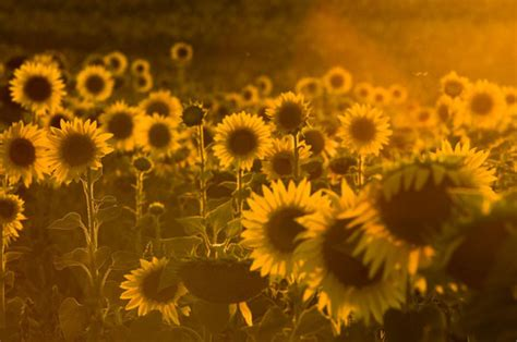 girasoles  tumblr