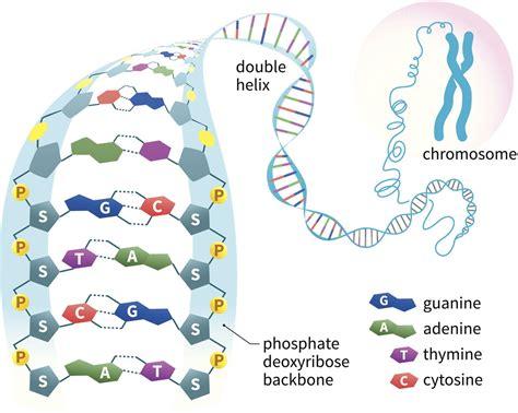 Diagram Of Chromatin by Chromatin Function