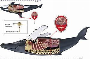 Schematic Illustrations Of A Humpback Whale  Top  And
