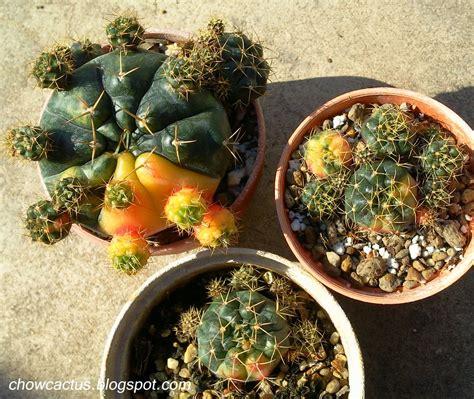 Gymnocalycium damsii f. variegata ยิมโนลูกชุบ แคคตัสสุด ...