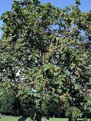 blauglockenbaum wikipedia