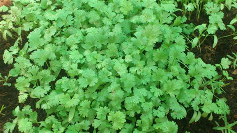 whats  health benefits   coriander leaves