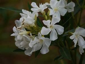 Oleander Draussen überwintern : warum der oleander gelbe bl tter bekommt ursachen und pflege ~ Eleganceandgraceweddings.com Haus und Dekorationen