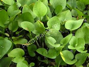 Frogbit Floating Plant Pond