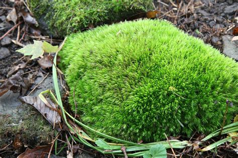 moss in vegetable garden rock garden plants rock cap moss rock garden plants