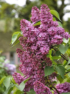 lilacs that bloom all summer 17 best ideas about dwarf lilac on pinterest dwarf lilac tree dwarf trees and dwarf flowering