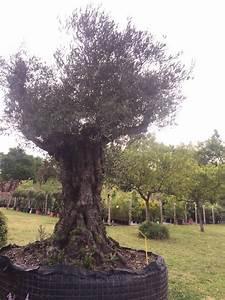 Planter Un Olivier En Pot : planter un olivier plantation duolivier with planter un ~ Dailycaller-alerts.com Idées de Décoration