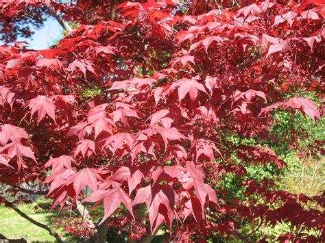 planting a japanese maple online plant guide acer palmatum atropurpureum bloodgood bloodgood japanese maple