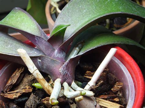 orchidee entretien apres floraison digpres