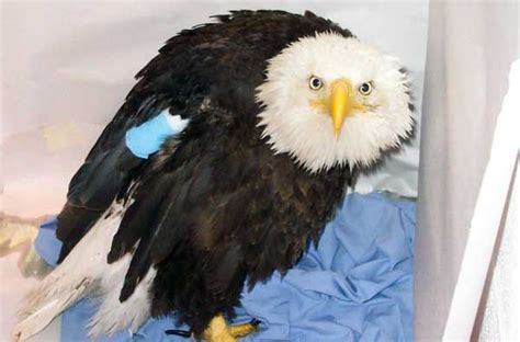 daily wildlife picture injured bald eagle badger