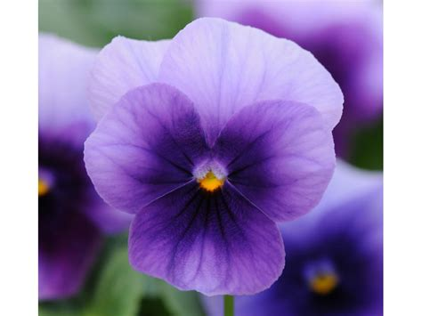pianta  viola  fiore piccolo sorbet xp beaconsfield