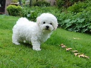 485 best Fluffy small white dogs images on Pinterest ...