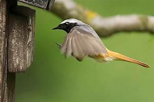 Vogelhaus Bauen Nabu : gartenrotschwanz nistkasten nabu ~ Buech-reservation.com Haus und Dekorationen