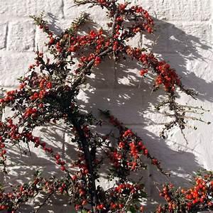 Strauch Mit Roten Beeren Im Winter : str ucher f r den garten im sommer 9 effektvolle sorten ~ Frokenaadalensverden.com Haus und Dekorationen