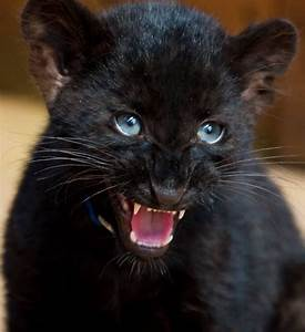 baby black panther   I love Panthers   Pinterest ...
