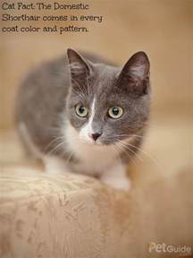 haired domestic cat domestic shorthair