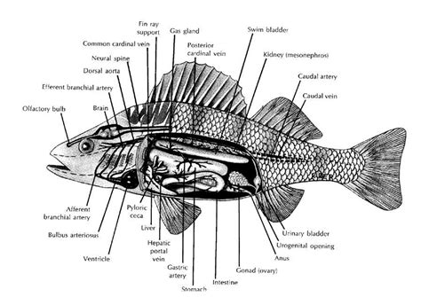 perch dissection worksheet worksheets for all