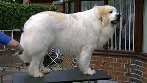 pyrenean mountain dog puppiestml