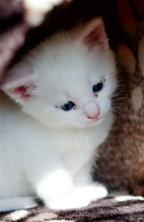 How Much Does A Turkish Angora Kitten Cost?  Annie Many