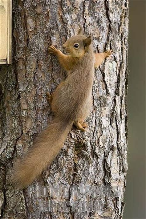 red squirrel climbing scots pine tree stock photo mokus