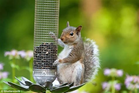 exeter uni grey squirrels remember how to solve puzzles