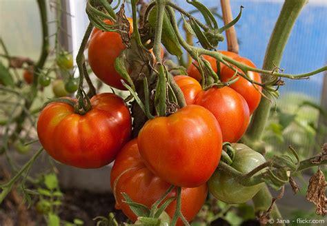 welche erde für tomaten tomaten im garten selber anbauen garten hausxxl
