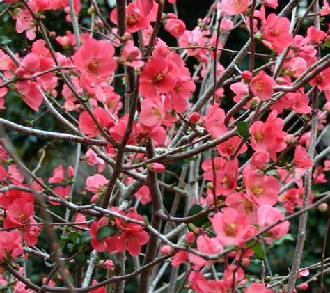 flowering quince chaenomeles flowering quinces