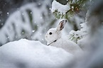 Can snowshoe hares outrace climate change? — High Country News