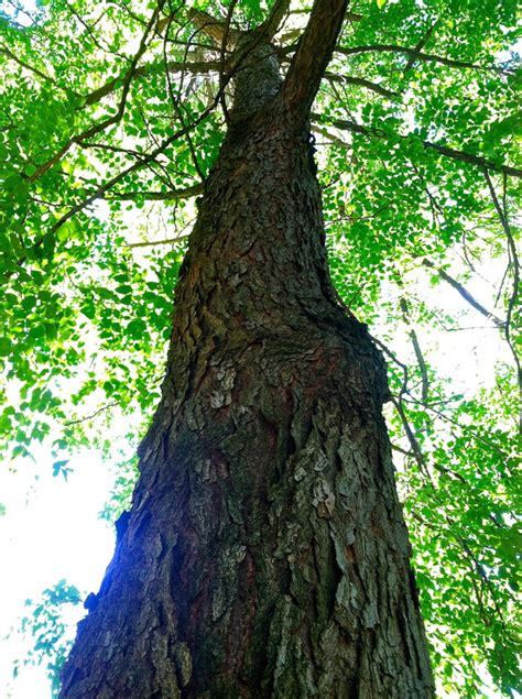 When crowded by other trees, this species grows tall and slender. Kentucky Coffee Tree #9 - Group One