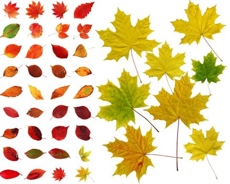 leaf name card template 13 leaves vector psd images names of fall leaves