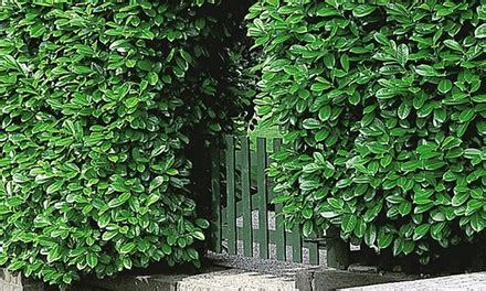 cherry laurel hedge plants groupon goods