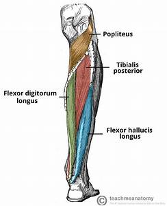 Muscles Of The Posterior Leg - Attachments