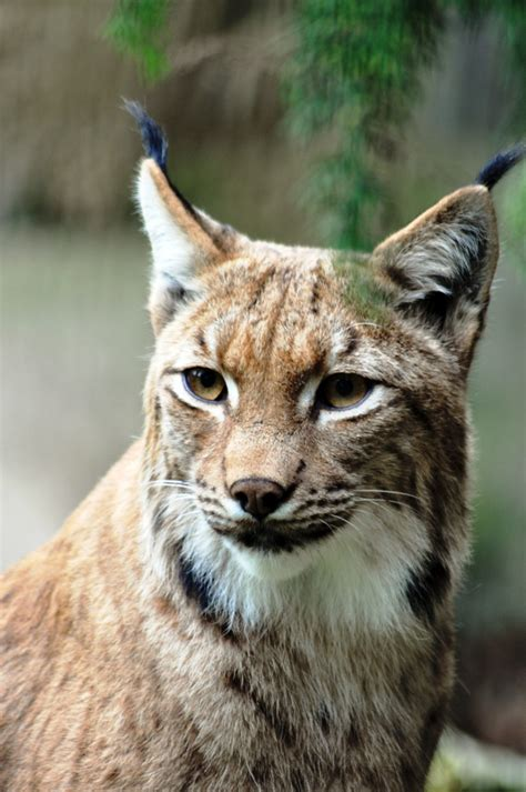 picture  lynx cat biological science picture directory