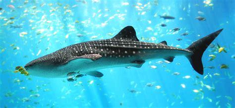 list  sharks   red sea wikipedia