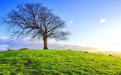 bare tree green hill sky wallpapers bare tree green hill