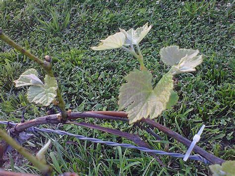 trim grape vines how to trim grape vines