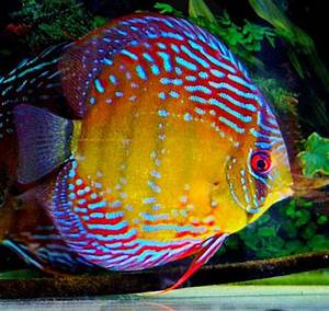 25+ best ideas about Discus fish on Pinterest   Discus ...