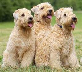 soft coated wheaten terrier dog breed information and