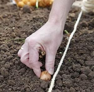 Pflanzen Nach Dem Mond : zwiebel pflanzen pflege und tipps mein sch ner garten ~ Lizthompson.info Haus und Dekorationen