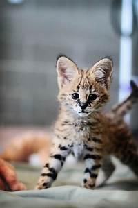 serval cub | Tumblr