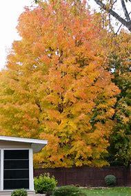 Sugar Maple Tree Fall