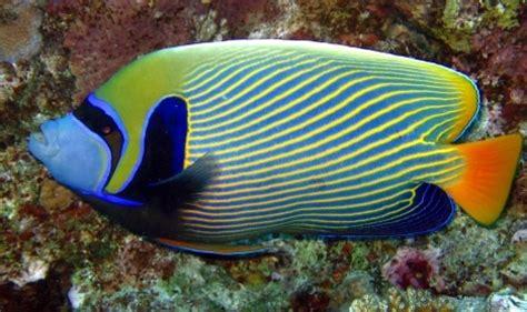 imperator kaiserfisch pomacanthus imperator fisch fotosde