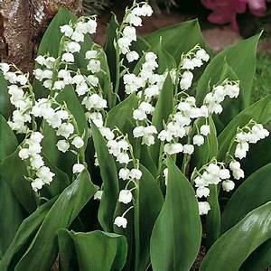 Quand Planter Le Muguet : muguet blanc nantais bulbes fantaisie meilland richardier ~ Melissatoandfro.com Idées de Décoration