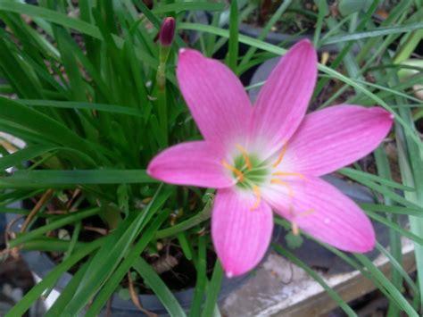 บัวดินสีชมพู บานเล็กๆ รับฝนฟ้า | Garden7day Blog