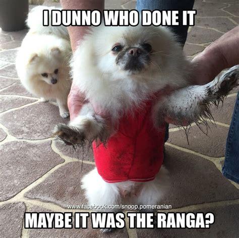 Pomeranian Meme - pomeranian pomeranianmemes dogfunnies find us on facebook https www facebook com snoop