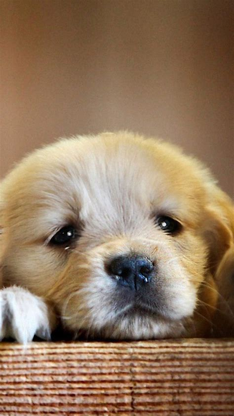 golden retriever puppy cute paws hd dog wallpaper