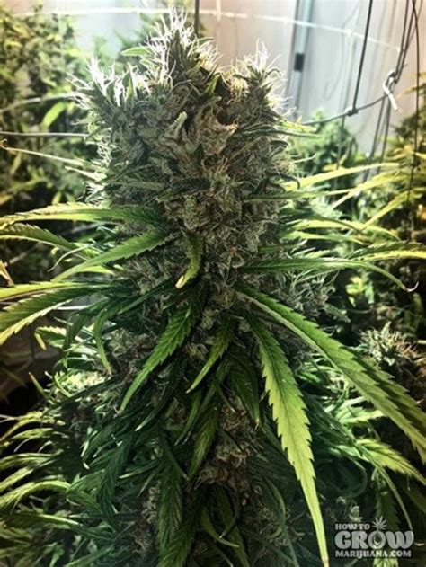 Ace Golden Tiger Feminized Seeds